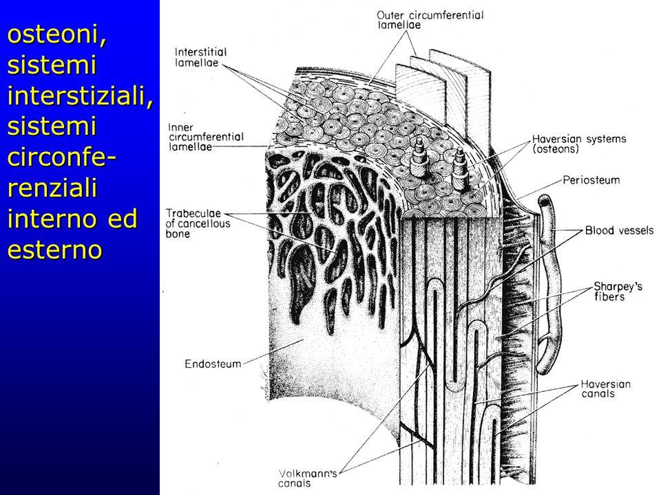 osteoni, sistemi interstiziali, sistemi circonfe-renziali interno ed esterno