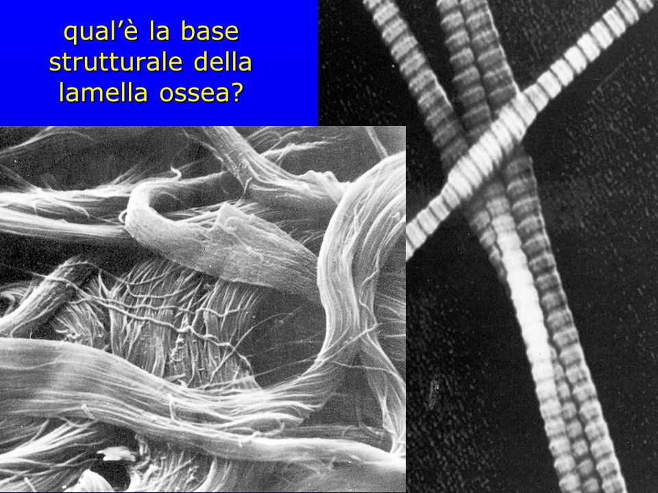 qual'è la base strutturale della lamella ossea