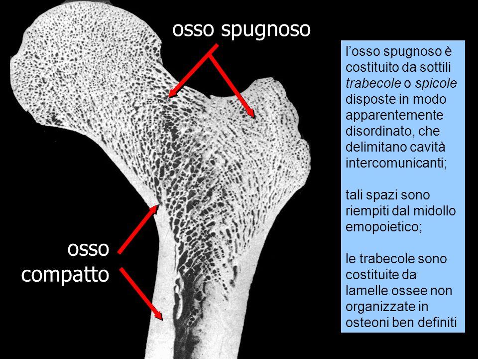 osso spugnoso osso compatto