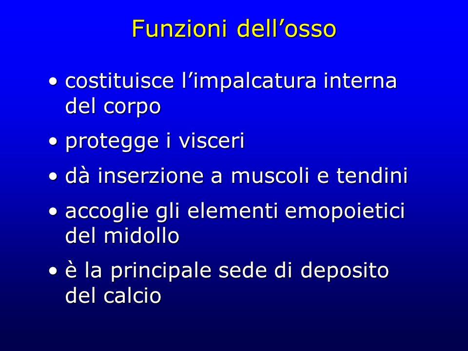 Funzioni dell'osso costituisce l'impalcatura interna del corpo