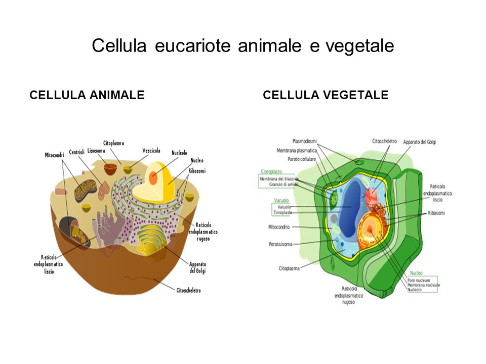 Cellula eucariote animale e vegetale