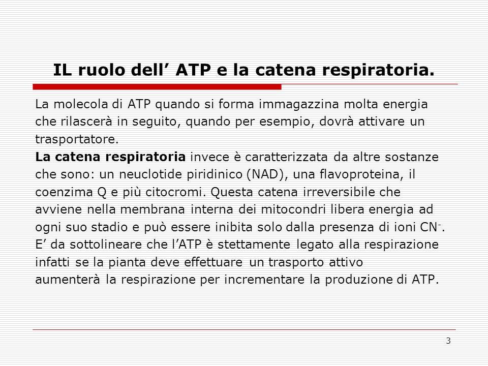 IL ruolo dell' ATP e la catena respiratoria.