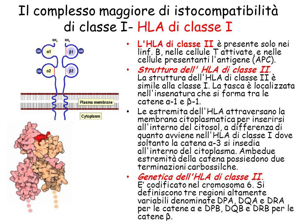 Il complesso maggiore di istocompatibilità di classe I- HLA di classe I