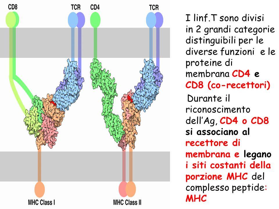I linf.T sono divisi in 2 grandi categorie distinguibili per le diverse funzioni e le proteine di membrana CD4 e CD8 (co-recettori) Durante il riconoscimento dell'Ag, CD4 o CD8 si associano al recettore di membrana e legano i siti costanti della porzione MHC del complesso peptide: MHC