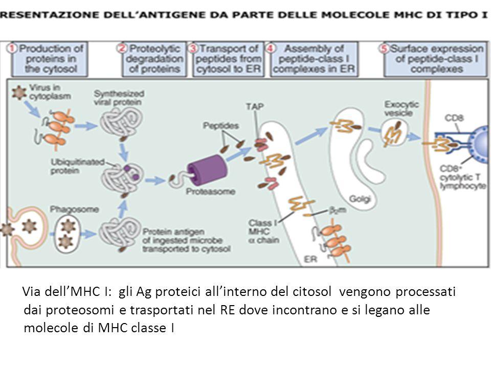 Via dell'MHC I: gli Ag proteici all'interno del citosol vengono processati dai proteosomi e trasportati nel RE dove incontrano e si legano alle molecole di MHC classe I