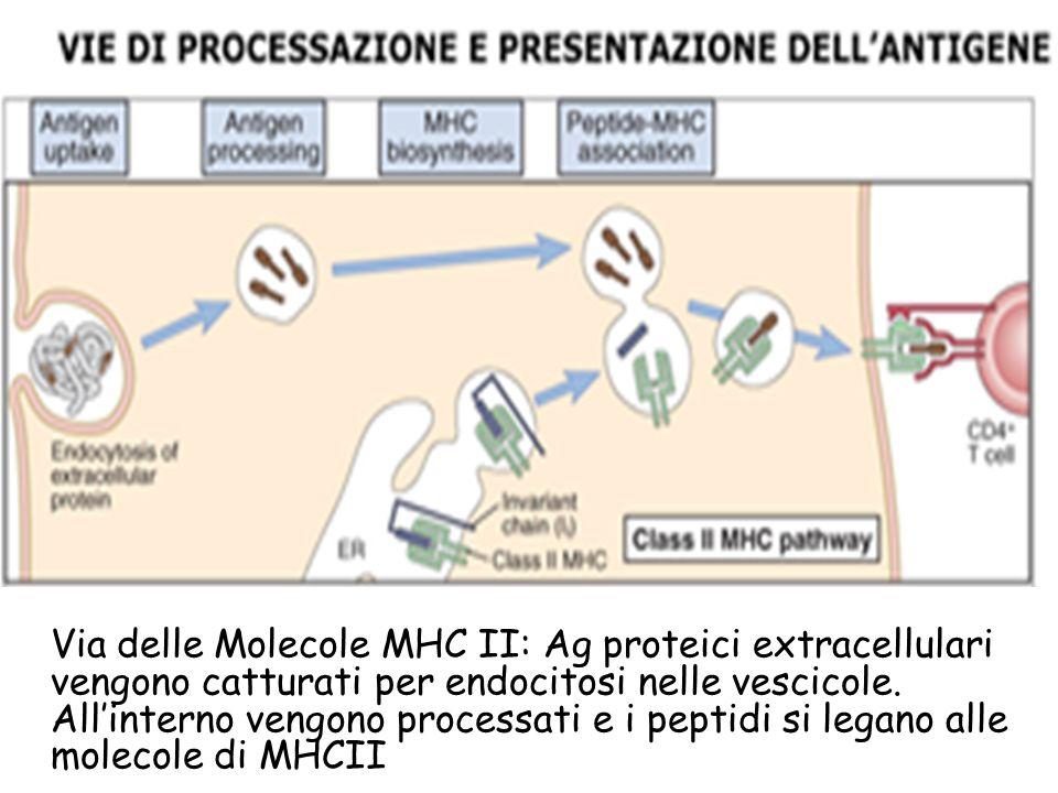 Via delle Molecole MHC II: Ag proteici extracellulari vengono catturati per endocitosi nelle vescicole. All'interno vengono processati e i peptidi si legano alle molecole di MHCII: