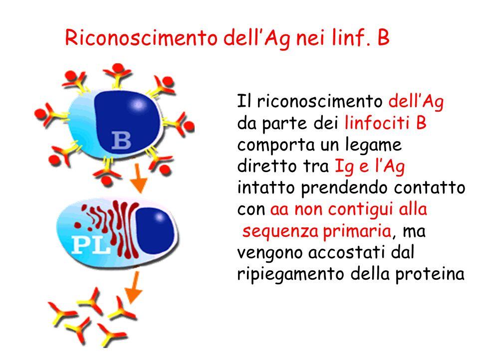 Riconoscimento dell'Ag nei linf. B