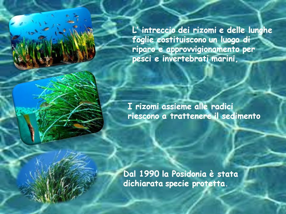L' intreccio dei rizomi e delle lunghe foglie costituiscono un luogo di riparo e approvvigionamento per pesci e invertebrati marini,