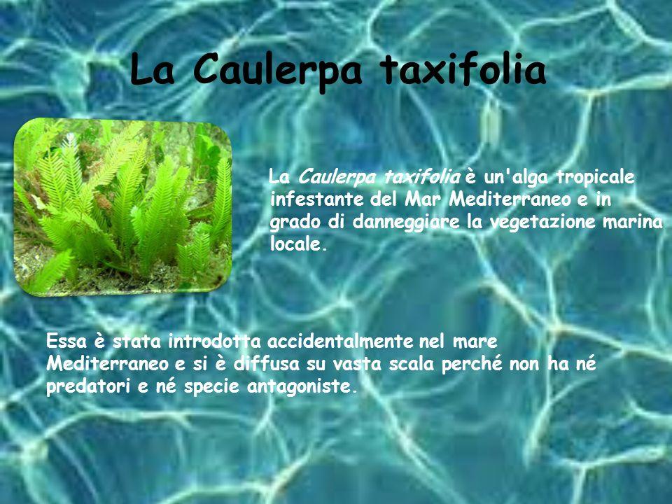 La Caulerpa taxifolia