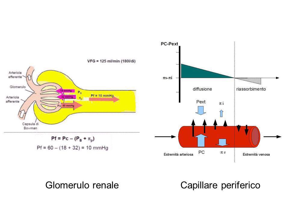 Glomerulo renale Capillare periferico