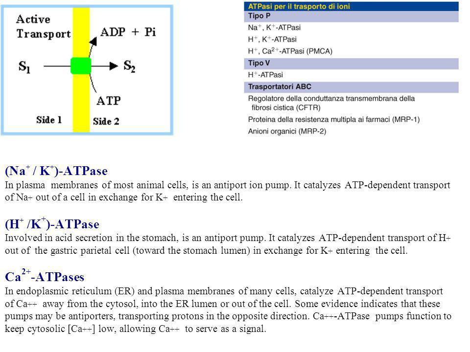 (Na+ / K+)-ATPase In plasma membranes of most animal cells, is an antiport ion pump.