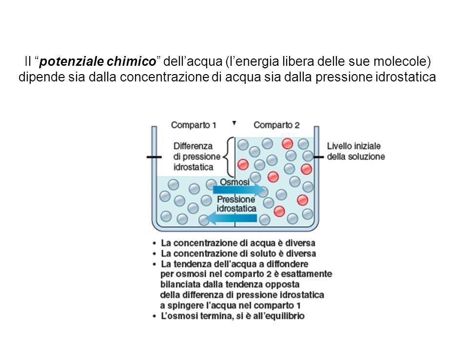 Il potenziale chimico dell'acqua (l'energia libera delle sue molecole) dipende sia dalla concentrazione di acqua sia dalla pressione idrostatica