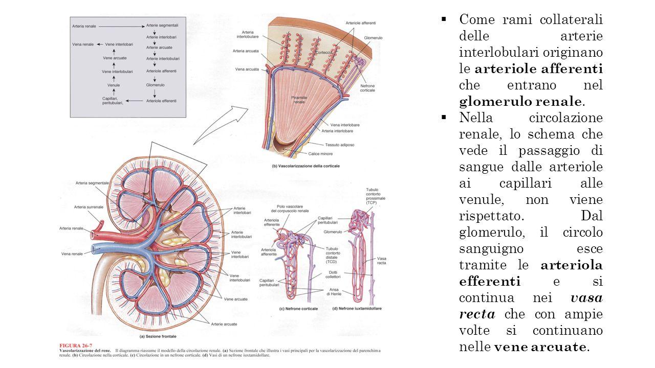 Come rami collaterali delle arterie interlobulari originano le arteriole afferenti che entrano nel glomerulo renale.