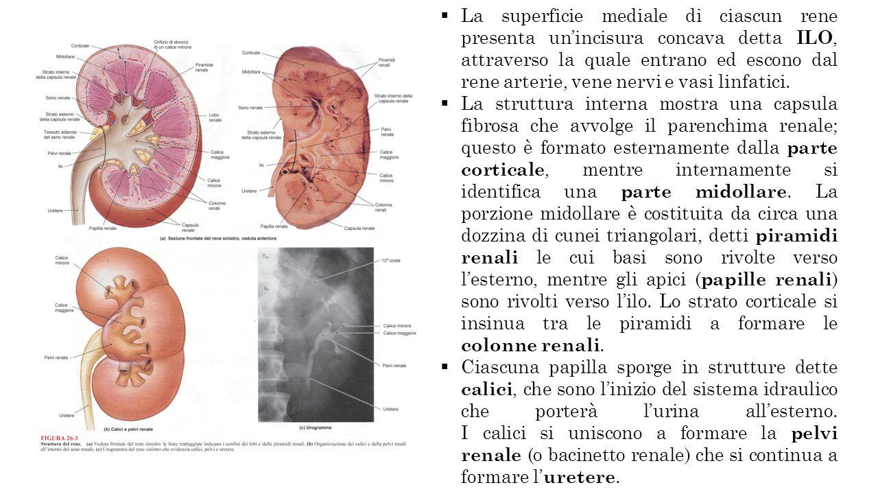 La superficie mediale di ciascun rene presenta un'incisura concava detta ILO, attraverso la quale entrano ed escono dal rene arterie, vene nervi e vasi linfatici.