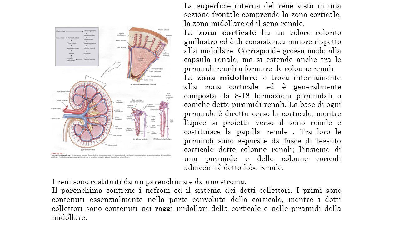 La superficie interna del rene visto in una sezione frontale comprende la zona corticale, la zona midollare ed il seno renale.