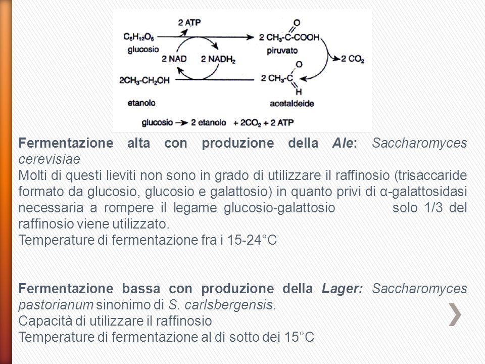 Fermentazione alta con produzione della Ale: Saccharomyces cerevisiae