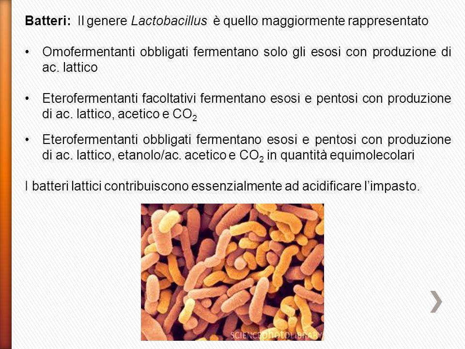 Batteri: Il genere Lactobacillus è quello maggiormente rappresentato