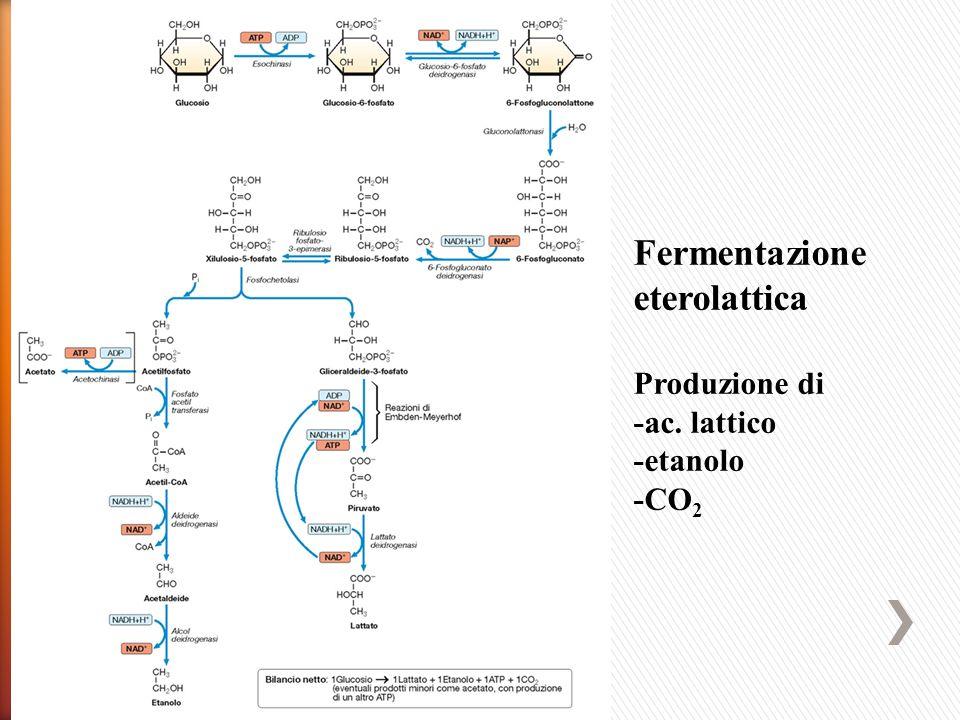 Fermentazione eterolattica Produzione di -ac. lattico -etanolo -CO2