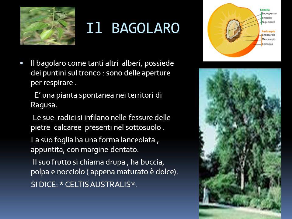 Il BAGOLARO Il bagolaro come tanti altri alberi, possiede dei puntini sul tronco : sono delle aperture per respirare .