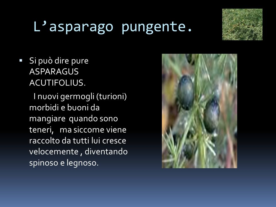L'asparago pungente. Si può dire pure ASPARAGUS ACUTIFOLIUS.