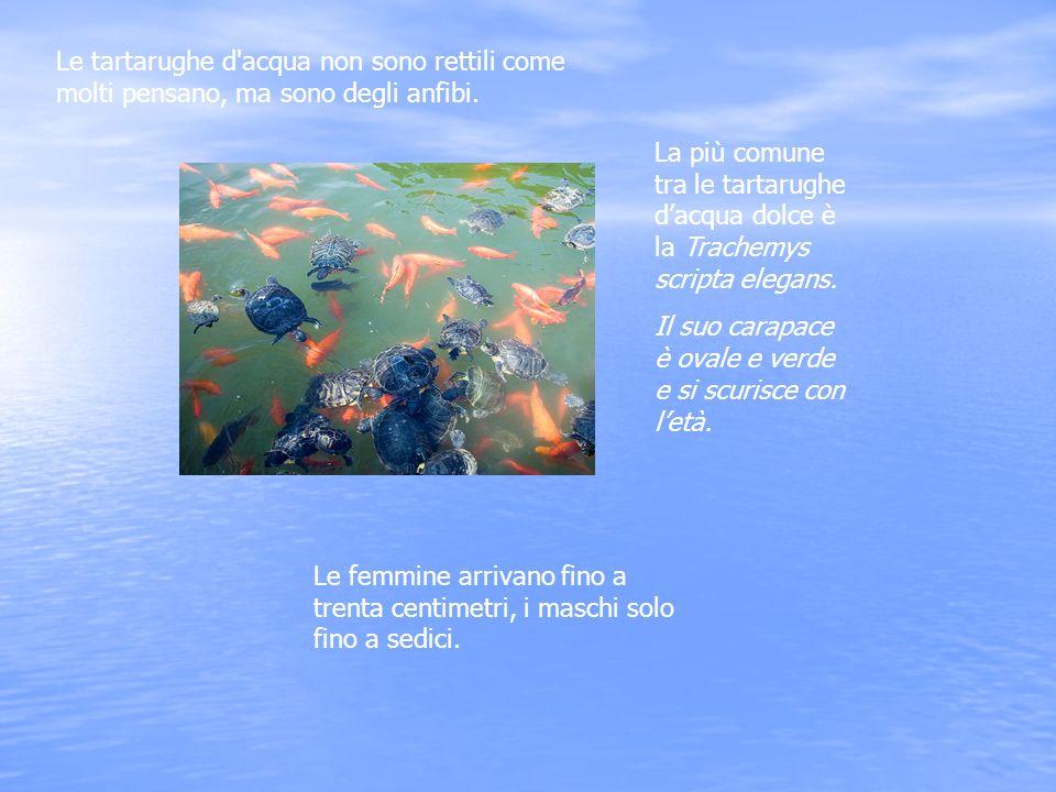 Le tartarughe d acqua non sono rettili come molti pensano, ma sono degli anfibi.