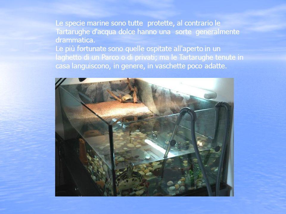 Le tartarughe d acqua dolce ppt scaricare for Tartarughe di acqua dolce