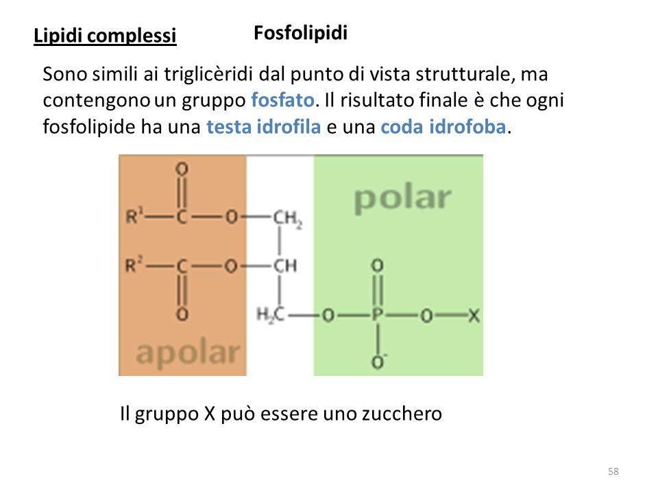 Lipidi complessi Fosfolipidi.