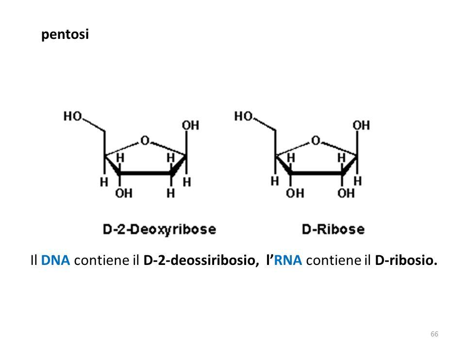 pentosi Il DNA contiene il D-2-deossiribosio, l'RNA contiene il D-ribosio.
