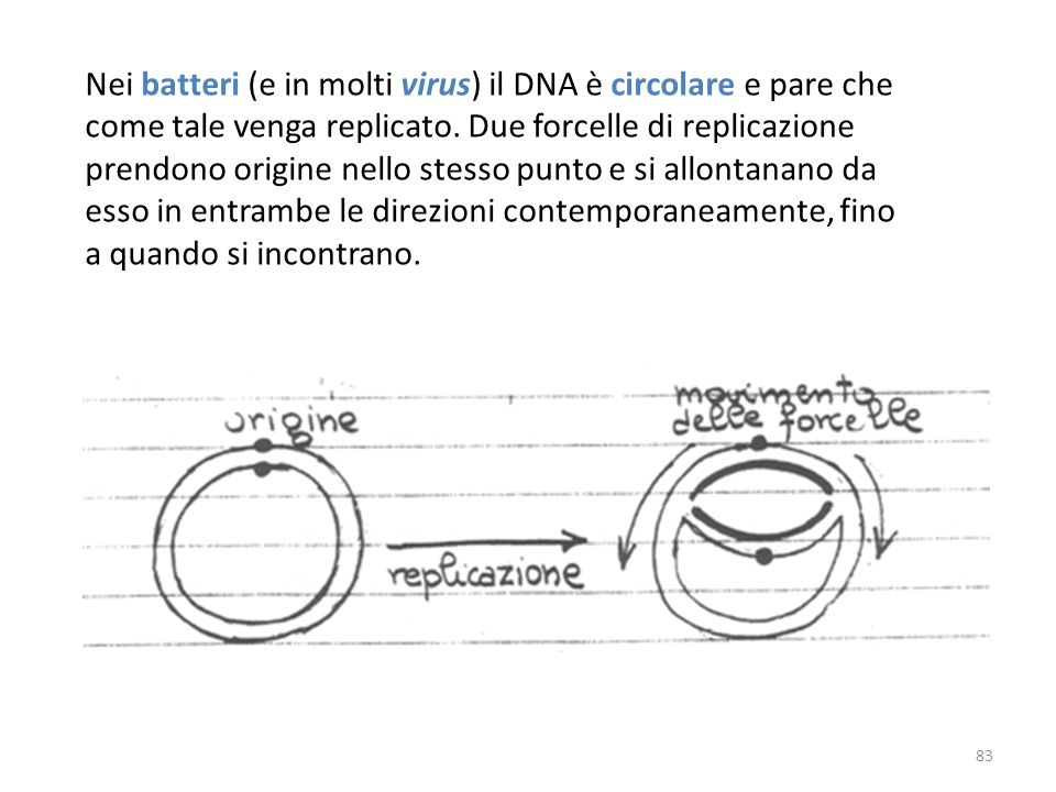 Nei batteri (e in molti virus) il DNA è circolare e pare che come tale venga replicato.