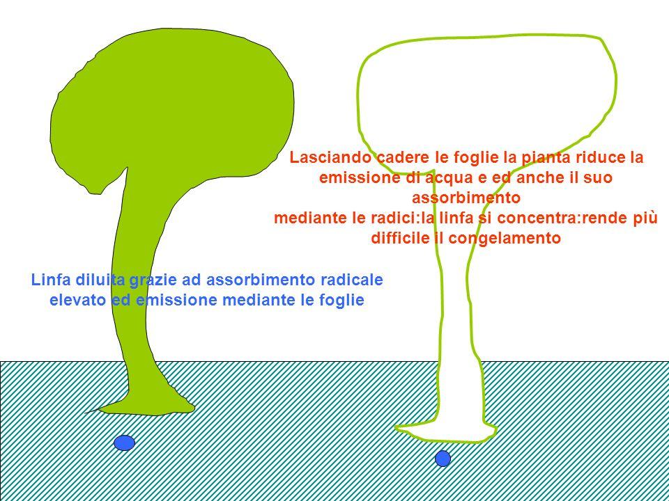 Lasciando cadere le foglie la pianta riduce la emissione di acqua e ed anche il suo assorbimento mediante le radici:la linfa si concentra:rende più difficile il congelamento
