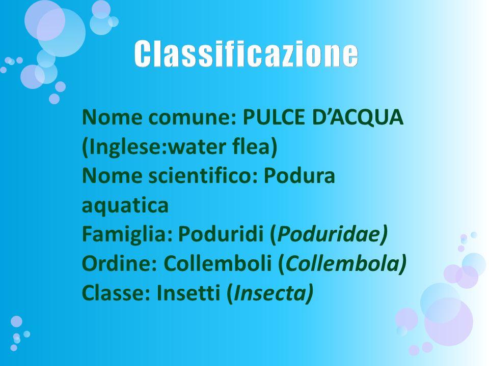 Classificazione Nome comune: PULCE D'ACQUA (Inglese:water flea)