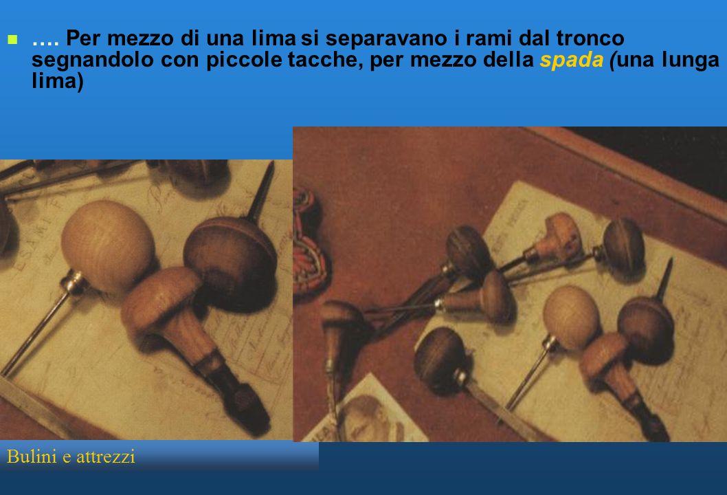 …. Per mezzo di una lima si separavano i rami dal tronco segnandolo con piccole tacche, per mezzo della spada (una lunga lima)