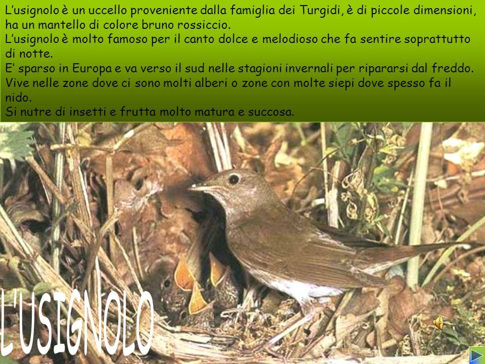 L'usignolo è un uccello proveniente dalla famiglia dei Turgidi, è di piccole dimensioni, ha un mantello di colore bruno rossiccio.