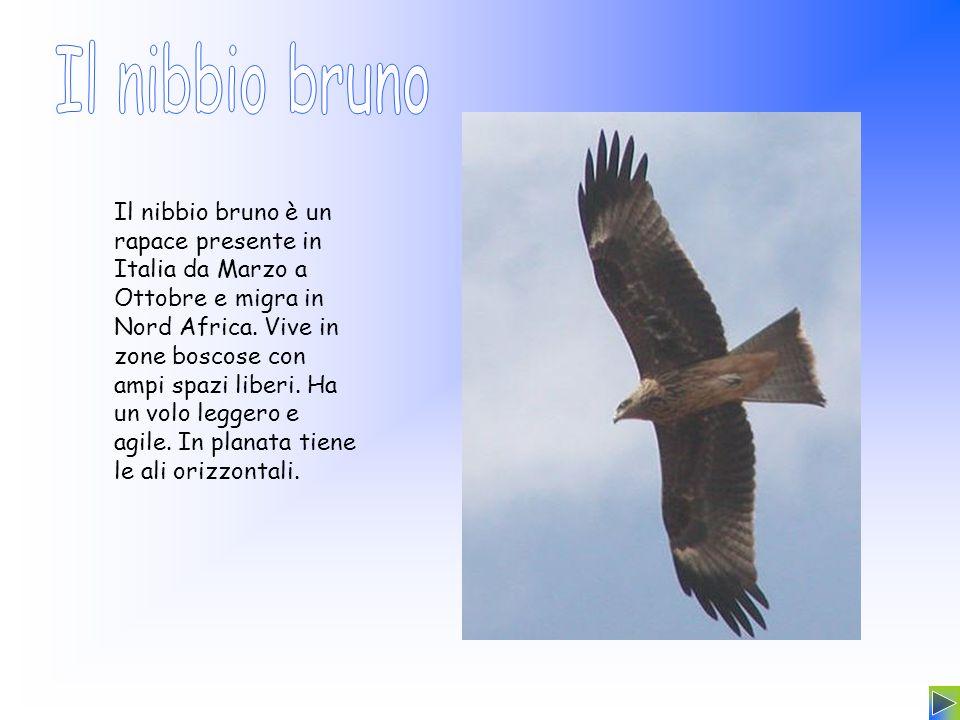 Il nibbio bruno