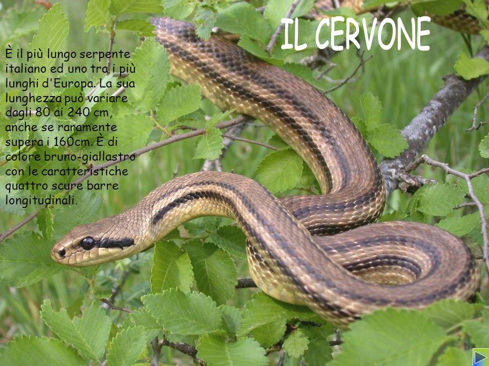 È il più lungo serpente italiano ed uno tra i più lunghi d Europa