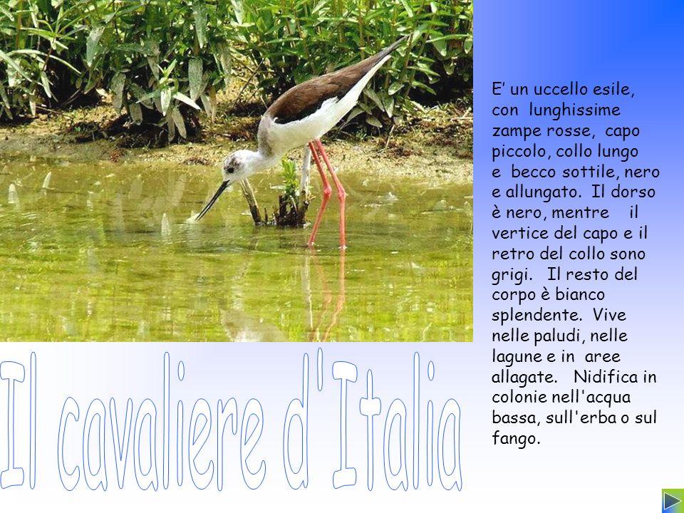 E' un uccello esile, con lunghissime zampe rosse, capo piccolo, collo lungo e becco sottile, nero e allungato. Il dorso è nero, mentre il vertice del capo e il retro del collo sono grigi. Il resto del corpo è bianco splendente. Vive nelle paludi, nelle lagune e in aree allagate. Nidifica in colonie nell acqua bassa, sull erba o sul fango.