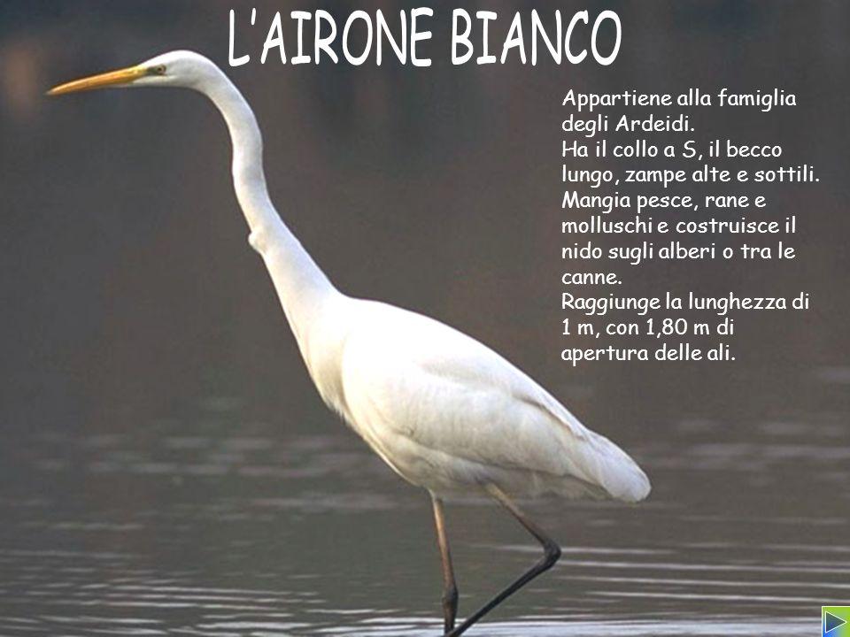 L'AIRONE BIANCO