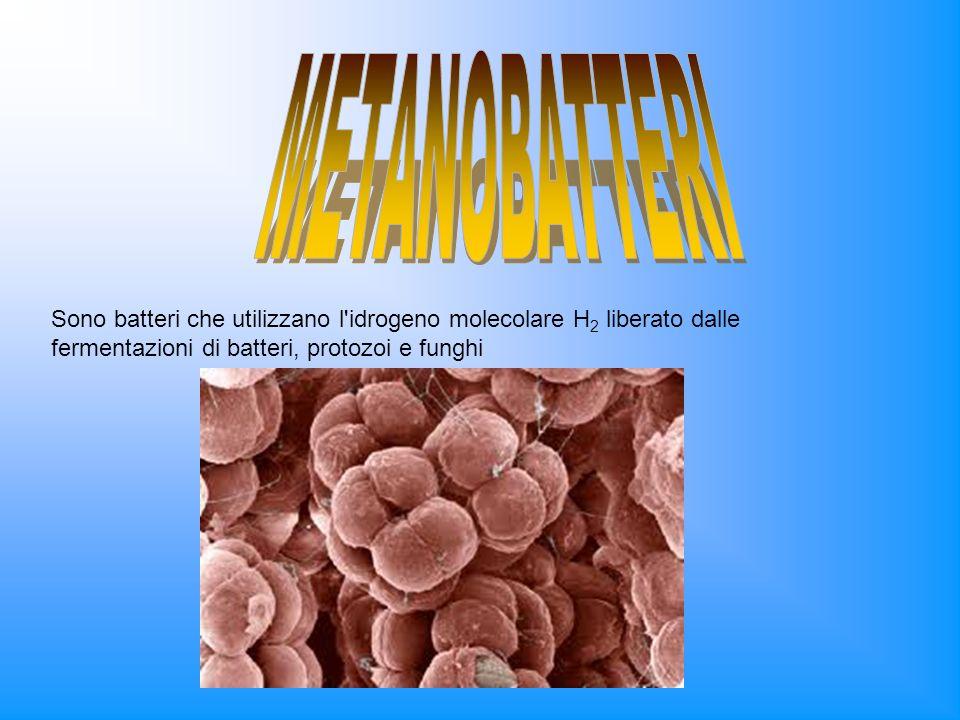 METANOBATTERISono batteri che utilizzano l idrogeno molecolare H2 liberato dalle fermentazioni di batteri, protozoi e funghi.