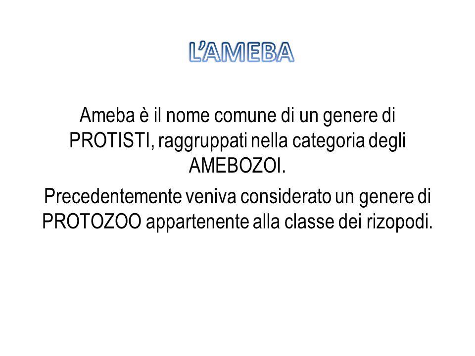 L'AMEBAAmeba è il nome comune di un genere di PROTISTI, raggruppati nella categoria degli AMEBOZOI.