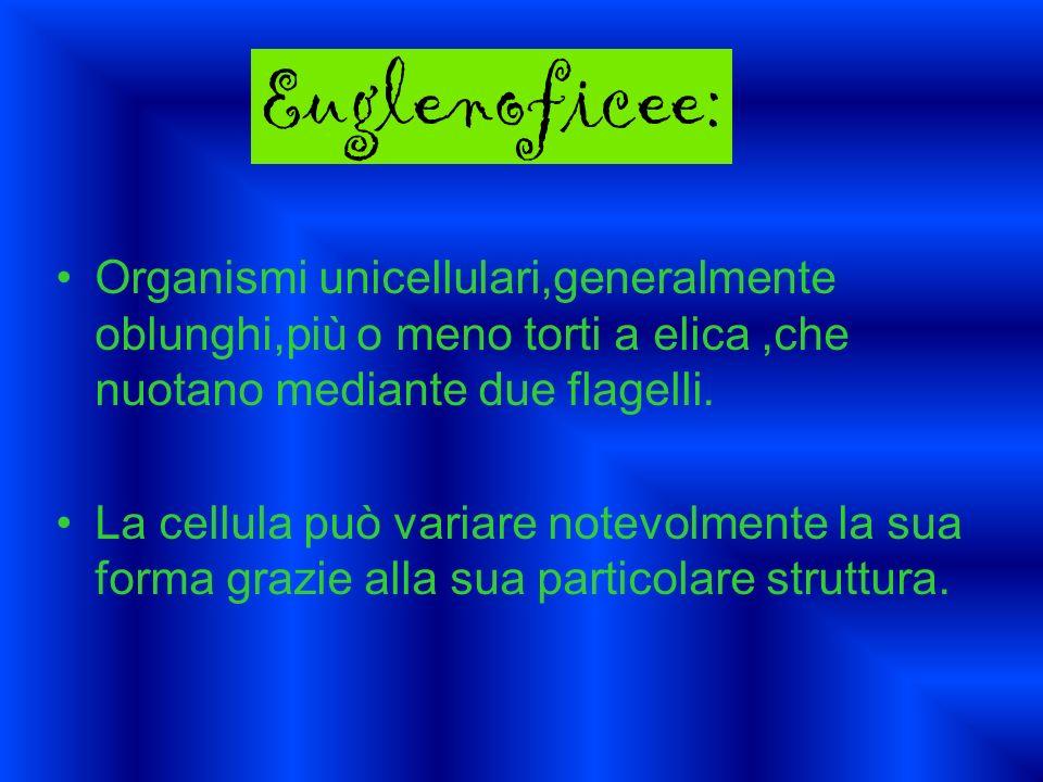 Euglenoficee:Organismi unicellulari,generalmente oblunghi,più o meno torti a elica ,che nuotano mediante due flagelli.