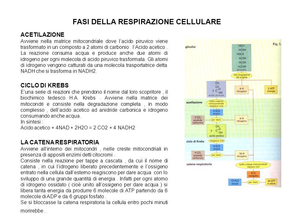 FASI DELLA RESPIRAZIONE CELLULARE