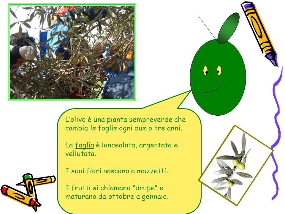L'olivo è una pianta sempreverde che cambia le foglie ogni due o tre anni.