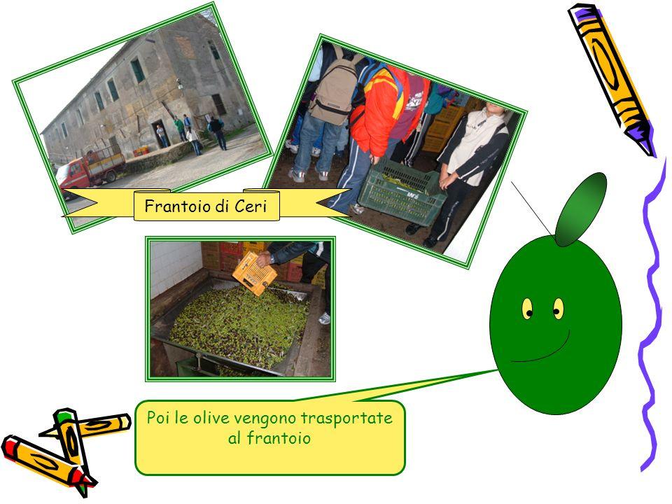 Poi le olive vengono trasportate al frantoio