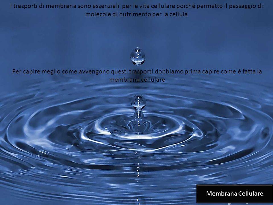 I trasporti di membrana sono essenziali per la vita cellulare poiché permetto il passaggio di molecole di nutrimento per la cellula