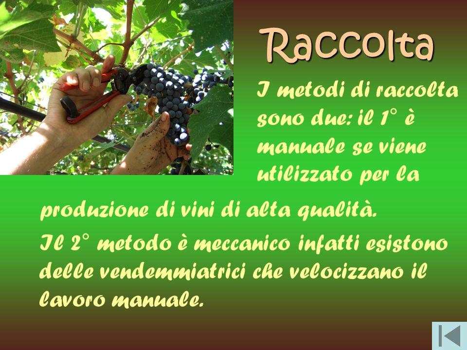 Raccolta I metodi di raccolta sono due: il 1° è manuale se viene utilizzato per la. produzione di vini di alta qualità.
