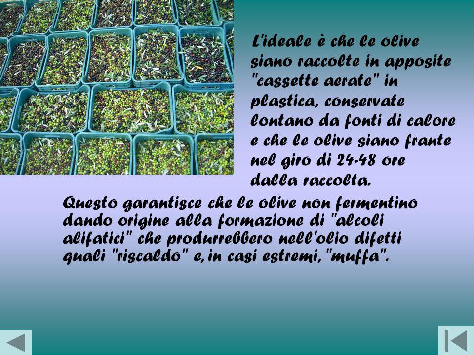 L ideale è che le olive siano raccolte in apposite cassette aerate in plastica, conservate lontano da fonti di calore e che le olive siano frante nel giro di 24-48 ore dalla raccolta.