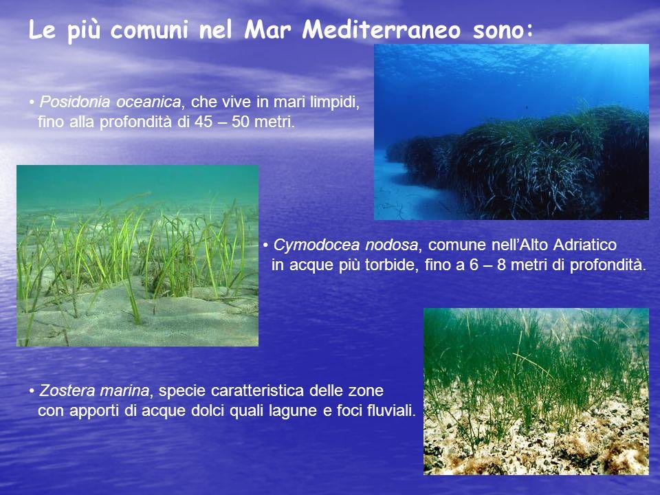 Le più comuni nel Mar Mediterraneo sono: