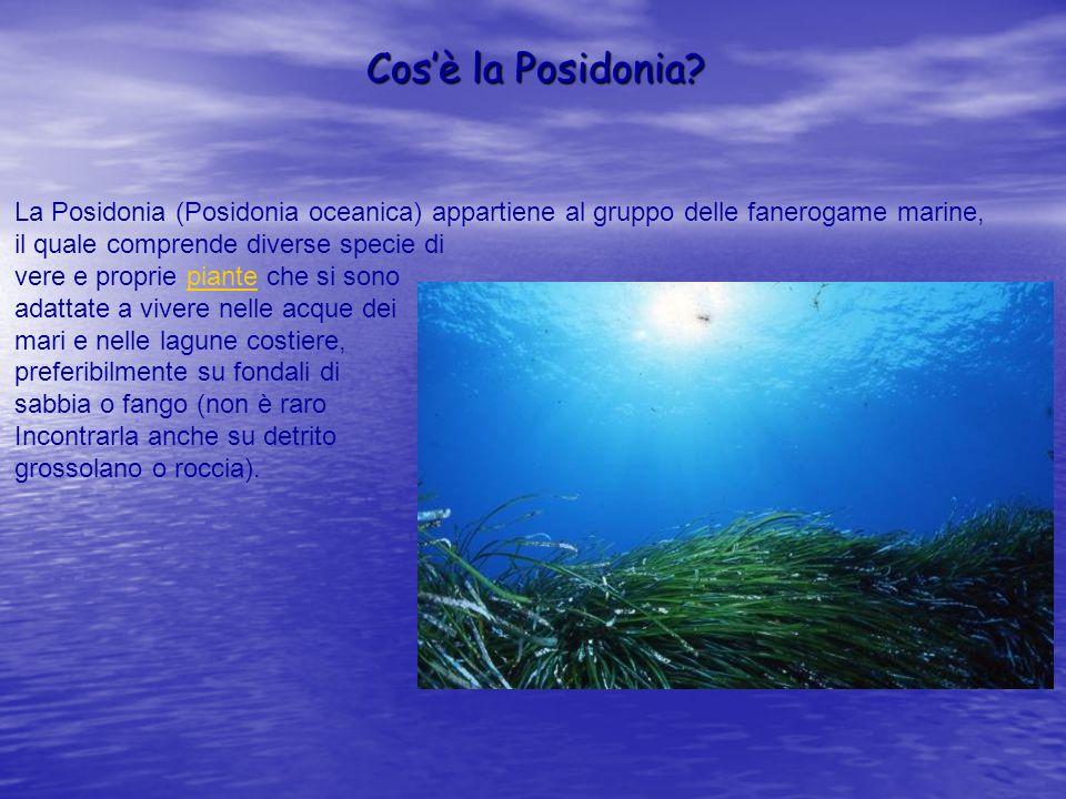 Cos'è la Posidonia La Posidonia (Posidonia oceanica) appartiene al gruppo delle fanerogame marine,
