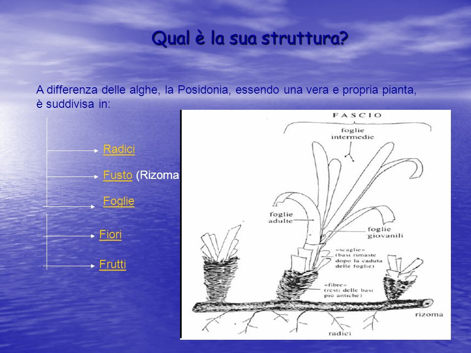 Qual è la sua struttura A differenza delle alghe, la Posidonia, essendo una vera e propria pianta,