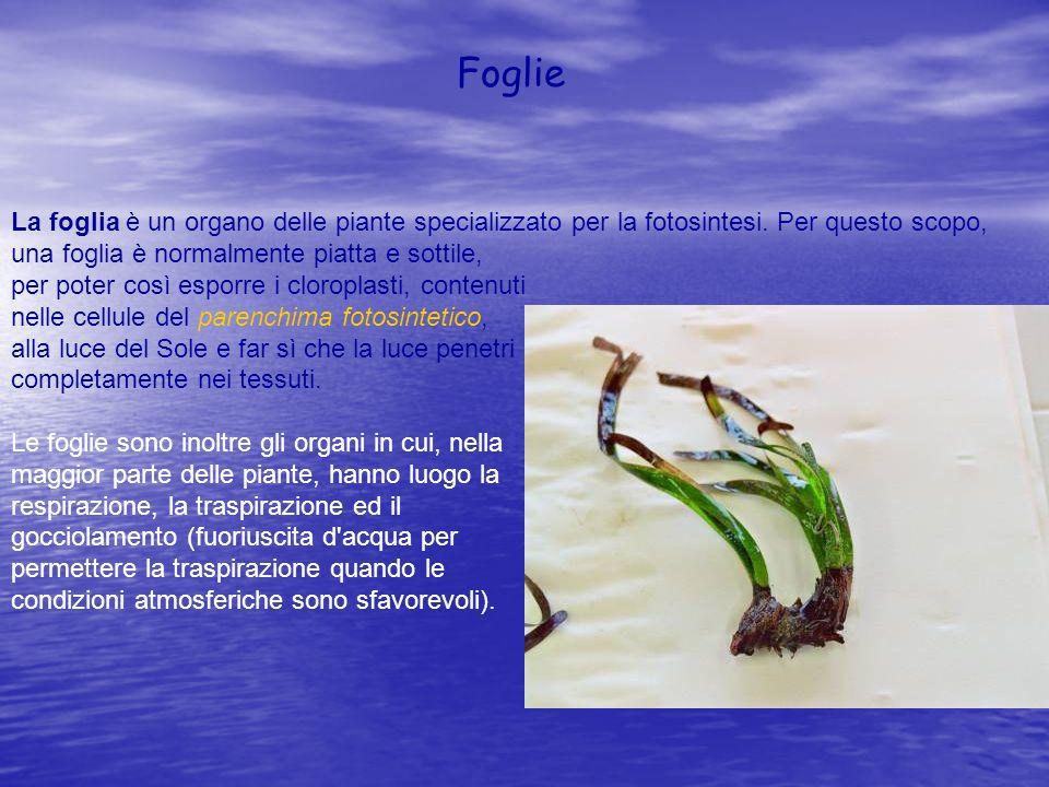 Foglie La foglia è un organo delle piante specializzato per la fotosintesi. Per questo scopo, una foglia è normalmente piatta e sottile,